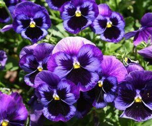 الفيولا المعروفة باسم زهرة البنفسج، وهي نبات عشبي الذي ينتمي الى العائلة البنفسجية، وهناك ما يقرب من 600 نوع من أزهار البنفسج، والتي يمكن العثور ...