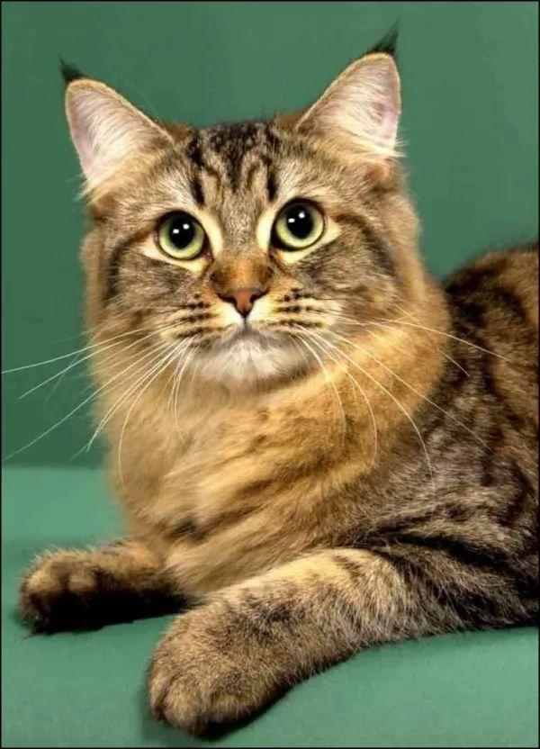 كيفية تربية قطط البوبتيل الامريكية ؟ سحر الكون