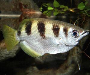 الأسماك الإستوائية ذو العقول الصغيرة يمكنها أن تمييز بين الوجوه البشرية عند عرضها في مجموعة، وهذا ما اكتشفه الباحثين، وهذه هي المرة الاولى التي تظهر ...