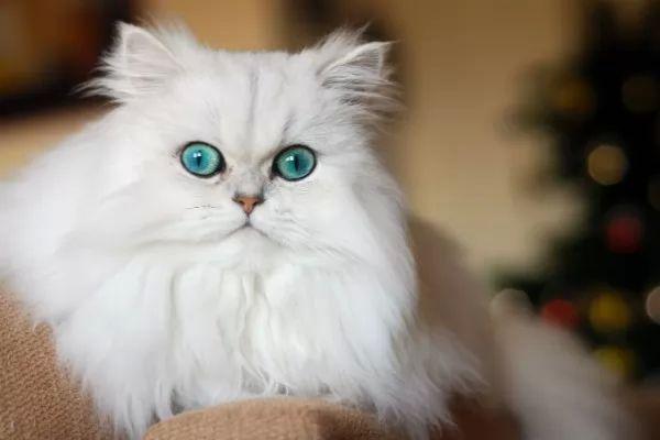 Semi Fat Face Long Fine Hair Cat