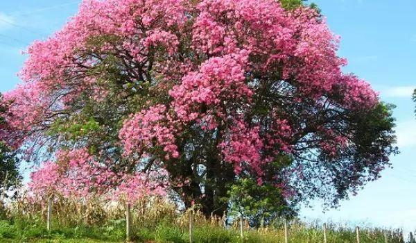 شجرة القابوق الجميل من اجمل الاشجار فى العالم 9271_1_or_1489273316