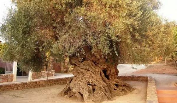 من اجمل الاشجار فى العالم شجرة الزيتون Vouves 9271_1_or_1489273454