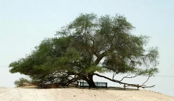 من اجمل الاشجار فى العالم شجرة الحياة 9271_1_or_1489273498