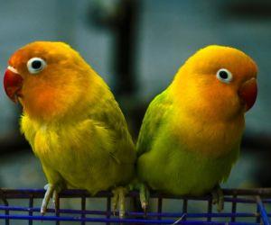 طيور الحب هي بعض من أروع الطيور الصغيرة، وطيور الحب من الطيور النشيطة والمرحة والجميلة للغاية، وطيور الحب تأتي من المناطق الأكثر جفافا في أفريقيا، ...