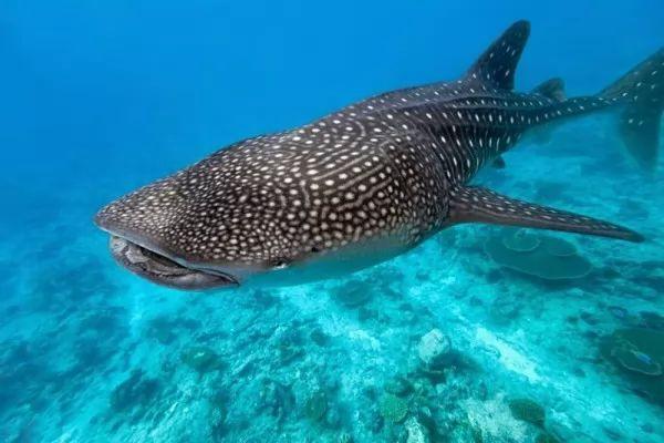 صور - ماذا تعرف عن القرش الحوت ؟