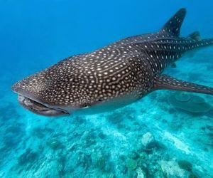 القرش الحوت الذي يعرف أيضا بالعملاق الوديع، والقرش الحوت من عائلة أسماك القرش، والقرش الحوت يعد من أكبر الأسماك الموجودة على قيد الحياة اليوم، ولكن ...
