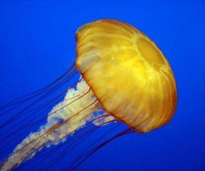 قناديل البحر من أكثر الحيوانات الرائعة على وجه الارض، وقناديل البحر بعض من اقدم الحيوانات، ولها تاريخ من التطور منذ مئات الملايين من السنيين، وسوف ...