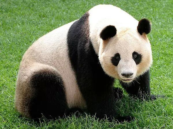 موضوع عن حيوان الباندا 2017