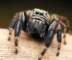 العناكب هي مجموعة من المفصليات والتي تشمل العناكب والقراد والعث والحاصدون، ويقدر العلماء ان هناك اكثر من 100،000 نوع من العناكب على قيد الحياة حتي ...