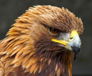 النسر الذهبي هو واحد من اكبر واسرع الطيور في العالم ، كما ان النسر الذهبي هو من الطيور الجارحة الرشيقة وهو يتميز بالريش الذهبي اللامع على الجزء ...