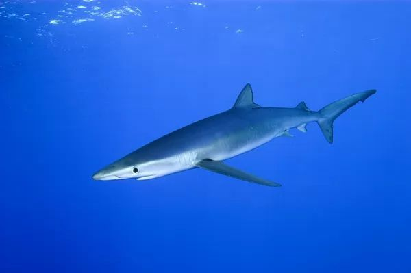 ما هي انواع سمك القرش المفترس في العالم بالصور؟