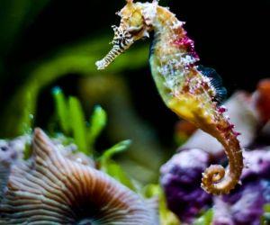 فرس البحر من الكائنات البحرية، وهو يعيش في الماء، ويتنفس من خلال الخياشيم، وفرس البحر لديه مثانة او كيس مملوء بالهواء للسباحة، ومع ذلك ليس لديه زعانف ...