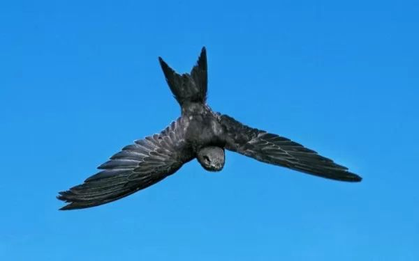 ماذا تعرف عن طائر السمامة ؟ 9473_2_or_1493064701