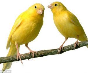 قد انتشرت تربية الكناري في ألمانيا لعدة قرون، والكناري تلك الطيور التي جاءت من المناطق المناخية الباردة ونمت لتصبح قادرة على تحمل البرد بشكل جيد ...