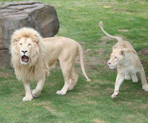 الاسد الابيض هو مثل اي اسد آخر، ولكن مع الفراء الأبيض، والاسد الابيض من أنواع القطط، حيث انه يجري على أربعة أرجل، وله آذان قصيرة مدببة، ووجهه   صغير ...