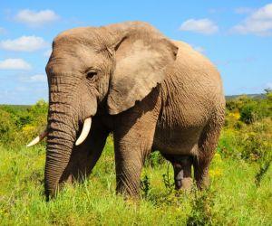 الفيل الافريقي يصل وزنه الى 6000 كيلو جرام اي نحو 6.6 طن، ويصل ارتفاعه الى حوالي 3.3 متر اي 10 اقدام من القدم الى اعلى الكتف، والفيل الافريقي   يعتبر ...