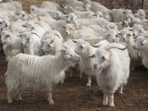 صور - معلومات مثيرة عن الماعز لم تكن تعرفها من قبل
