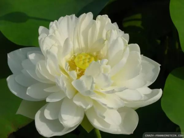صور - معلومات عن زهرة اللوتس الفرعونية