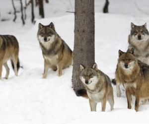 الذئاب هي أكبر أعضاء عائلة كانيداي، والتي تشمل الكلاب المحلية، والقيوط وهو ذئب شمال امريكا، والدنغ الكلب الاسترالي، وكلاب الصيد الأفريقية، وأنواع ...