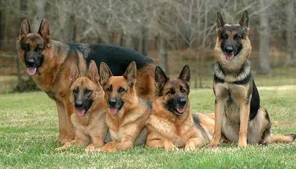 صور - حقائق مذهلة عن كلاب جيرمن شيبرد