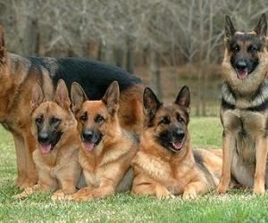 اذا كنت تعتقد انك تعرف الكثير عن كلاب جيرمن شيبرد أو كلاب الراعي الالمانية، انتظر ، فهناك الكثير من الحقائق المذهلة التي لا تعرفها والتي سوف نتكلم ...