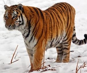 هناك الكثير من انواع النمور، وهذه الانواع منها التي لا زالت موجودة على قيد الحياة حتى الآن ولكنها مهددة بخطر الانقراض، ومنها انواع النمور التي تم ...