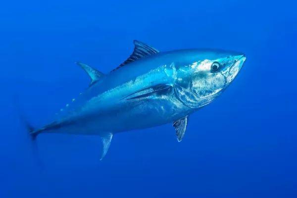 حقائق مدهشة عن سمك التونة ذو الزعنفة الزرقاء