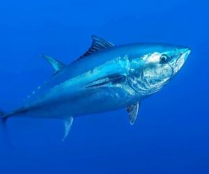 يعد سمك التونة ذو الزعنفة الزرقاء واحد من أكبر انواع سمك التونة، وجسم سمك التونة ذو الزعنفة الزرقاء هو لون اعمق بالقرب من زعانف الحوض، وهناك اللون ...