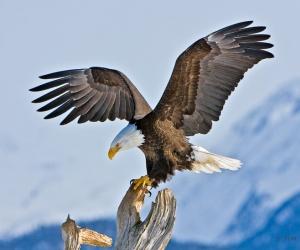 النسر الاصلع من اكبر الطيور الجارحة، وموطنه الاصلي في امريكا الشمالية، والنسر الاصلع كان الشعار الوطني للولايات المتحدة الامريكية منذ عام 1782، ...