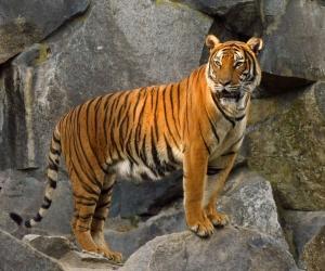 النمر من الثدييات البرية التي تنتمي الى جنس بانثيرا، وهذا التصنيف الذي يجمع بين خمسة انواع من القطط الكبيرة وهي الاسد، والجاكواراو اليغور (النمر ...