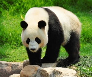 اسباب انقراض الباندا متعددة، حيث ان واحد فقط من اثنين من دب الباندا يولد على قيد الحياة، والباندا من الصعب للغاية ان تحصل على الحمل، وحوالي 50% من ...