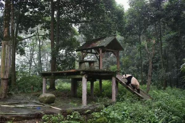 صور - ما هي اسباب انقراض الباندا ؟