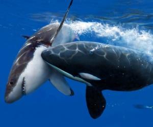 سوف نتناول في هذه المقالة بعض المعلومات المدهشة التي توضح لنا ما هو الفرق بين القرش والحوت، وفي الواقع كلا من القرش والحوت لا يرتبطا ارتباطا   وثيقا ...