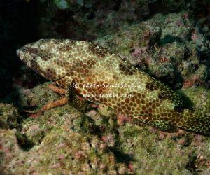 يعتبر سمك الهامور احد اسماك الشعاب الكبيرة، وقد عانى من هبوط كبير خلال القرن العشرين، وذلك اساسا بسبب لصيد الجائر ،وسمك الهامور من انواع الاسماك ...
