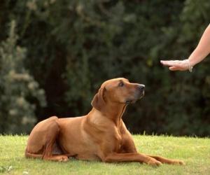 تدريب الكلاب يتخيله الكثيرون كأمر مستحيل لا يفك الغازه إلا المتخصصين بينما يعلم جيدا محبي الكلاب بان تدريب الكلاب لا يحتاج سوي القليل من الصبر و الحب