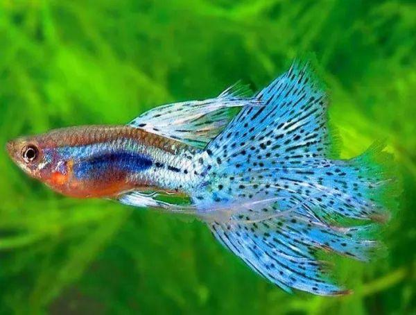 معلومات رائعة عن تربية اسماك الجوبي والعناية بها