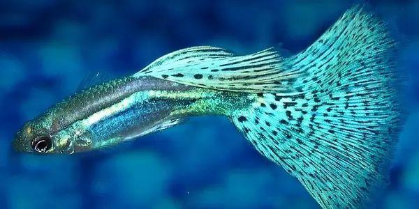معلومات رائعة تربية اسماك الجوبي والعناية