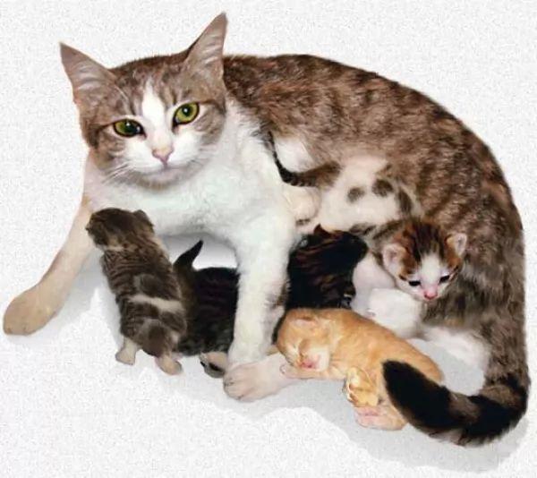 مراحل الحمل القطط