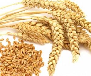 ماهى مكونات وفوائد القمح ؟
