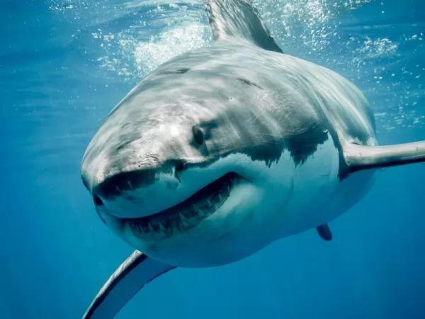 سمك القرش الابيض العظيم