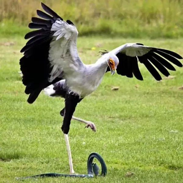 صور - هل تعلم ان طائر السكرتير من الطيور الجارحة ؟