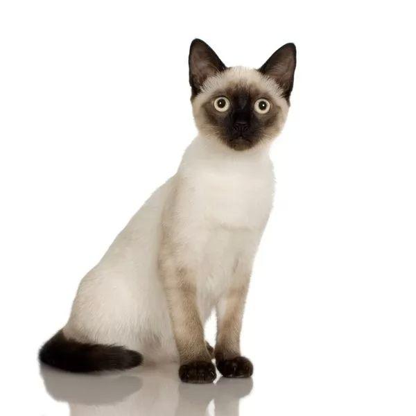 يمكن تربية ورعاية القطط السيامي المنزل