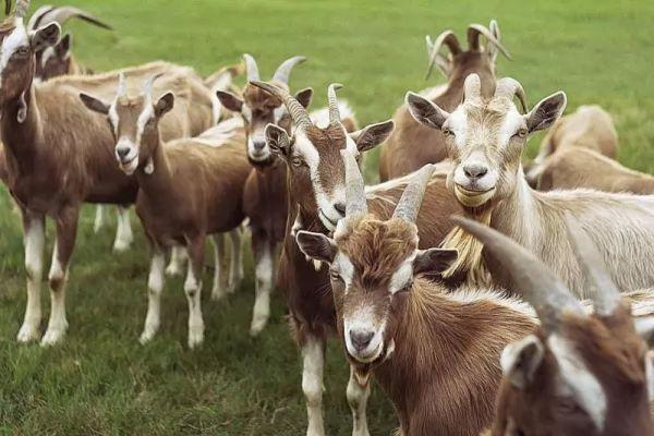 بعض الارشادات عن كيفية حلب وتربية الماعز raising-milking-goat