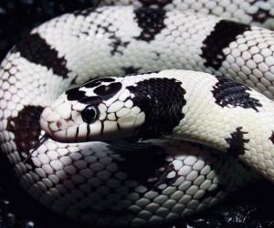 هناك انواع ثعابين اكثر شيوعا والتي تصلح لتربية الثعابين في المنزل كيحوانات اليفة ، وهنا نسرد لك انواع الثعابين التي من الممكن ان تربيتها في المنزل