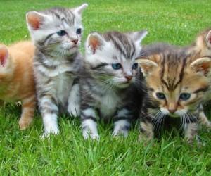 القطط هي الحيوانات الأليفة الأكثر شعبية في كثير من دول العالم ، الناس في العالم يحبون تربية القطط اكثر من اى حيوان اليف اخر ، القطط تستمتع أيضا ...