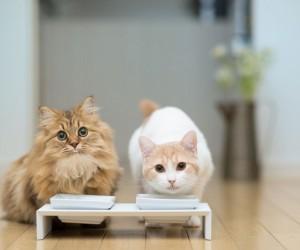 في حين أن العديد من الناس يعتقدون أن أسطورة الحليب هو غذاء جيد تتناوله القطط، ولكن الحقيقة في الواقع ليس الحليب اصح المشروبات الذي يمكن ان تتناوله ...