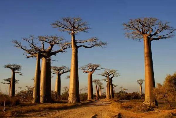 تعرف على شجرة زقاق الباوباب من اقدم الاشجار في العالم  Oldest-trees-in-the-world_9833_10_1226