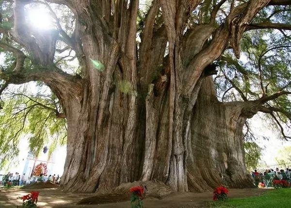 من اقدم الاشجار في العالم شجرة ديل تيول Oldest-trees-in-the-world_9833_3_1217