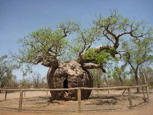 شجرة سجن البواب ىهي من اقدم الاشجار Oldest-trees-in-the-world_9833_4_1219