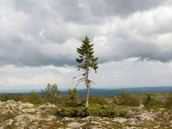 شجرة تييكو من اقدم الاشجار في العالم Oldest-trees-in-the-world_9833_8_1224